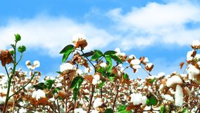 Weiße flaumige reife Baumwolle Stockfoto