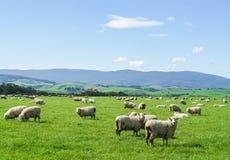 Weiße flaumige Schafe leben auf grünem Yard am Hügel in Neuseeland für die Landwirtschaft in Herden Stockbilder