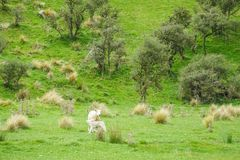 Weiße flaumige Schafe und ihre Kinder auf grünem Yard in Neuseeland für die Landwirtschaft Lizenzfreie Stockfotos