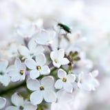 Weiße Flieder. Stockfotografie