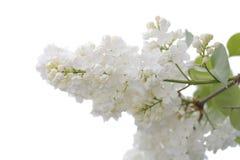 Weiße Flieder Stockbild