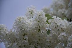 Weiße Flieder Stockfoto
