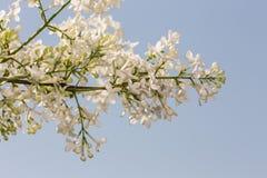 Weiße Flieder gegen den Himmel Stockbild