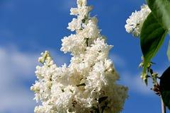 Weiße Flieder und ein blauer Himmel stockbilder