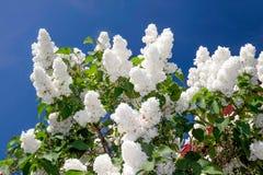 Weiße Flieder vor blauem Himmel lizenzfreie stockfotos