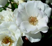 Weiße Floribunda-Gartenrosen lizenzfreies stockfoto