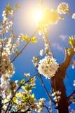 Weiße Frühlingsblume Stockfotografie