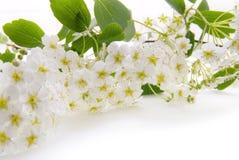 Weiße Frühlingsblumen lizenzfreie stockbilder