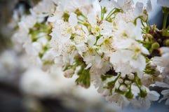 Weiße Frühlingsblumen Stockfotos