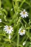 Weiße Frühlingsblumen Stockbilder