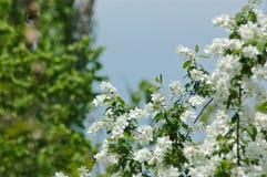 Weiße Frühlingsblumen Stockfotografie