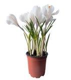 Weiße Frühlingsblumen auf einem weißen Hintergrund Lizenzfreie Stockbilder