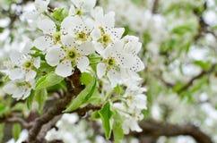 Weiße Frühlingsblumen auf einer Baumnahaufnahme Stockfoto