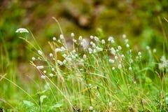 Weiße Frühlingsblumen auf grünem Hintergrund Stockbild
