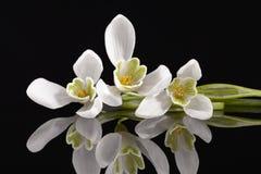 Weiße Frühlingsblumen des Schneeglöckchens lokalisiert auf schwarzem Hintergrund stockbilder