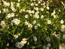 Weiße Frühlingsblumen des Stellaria Stockbilder