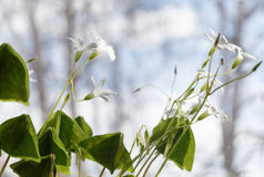 Weiße Frühlingsblumen - Oxalis-acetosella Lizenzfreie Stockbilder