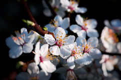 Weiße Frühlingsblumen - Pflaumenbaum stockfoto