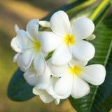 Weiße Frangipani-Blumen stockfotografie