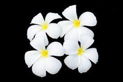 Weiße Frangipaniblume Stockfotos