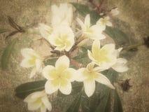 Weiße Frangipaniblume lizenzfreies stockfoto