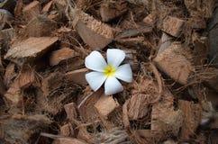 Weiße Frangipaniblume Lizenzfreie Stockbilder