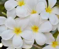 Weiße Frangipaniblume Lizenzfreie Stockfotos