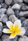 Weiße Frangipaniblume auf den Felsen Stockfoto