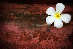 Weiße Frangipaniblume auf rotem grungy Hintergrund stockbilder