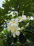 Weiße Frangipaniblume am heißesten Tag Lizenzfreie Stockfotografie