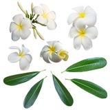 Weiße Frangipaniblume und -blätter lokalisierten Hintergrund Lizenzfreie Stockfotografie