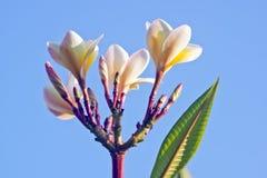 Weiße Frangipaniblumen Lizenzfreie Stockbilder
