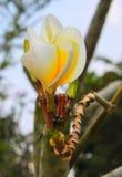 Weiße Frangipaniblumen Stockbilder