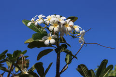 Weiße Frangipaniblumen Stockfotos