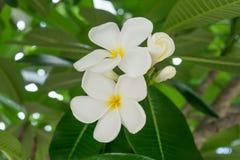 Weiße Frangipaniblumen auf Baum Stockfotografie