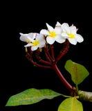 weiße Frangipaniblumen auf Schwarzem Stockfotos