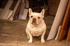 Weiße französische Bulldogge Stockfoto