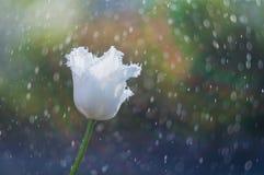 Weiße fringy Tulpe auf dem Hintergrund des Regens fällt lizenzfreie stockfotografie