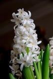 Weiße frische Hyazinthen Lizenzfreies Stockfoto