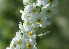 Weiße Fruchtblüten Lizenzfreies Stockfoto
