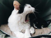 Weiße gähnende Katze während Schlaf der schwarzen Katze lizenzfreie stockfotos