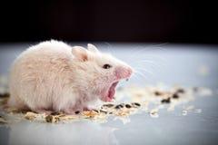 Weiße gähnende Ratte Lizenzfreies Stockfoto