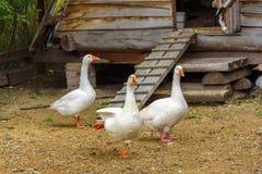 Weiße Gänse gehen um ihr Holzhaus Lizenzfreies Stockbild