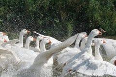 Weiße Gänse im Fluss Lizenzfreie Stockfotos