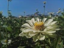 Weiße Gänseblümchen Lizenzfreie Stockbilder