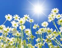 Weiße Gänseblümchen Stockbild