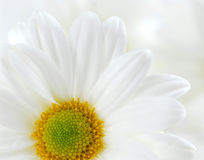 Weiße Gänseblümchen stockfotografie