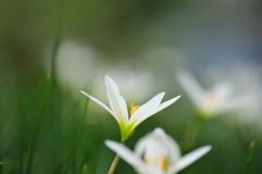 Weiße Gänseblümchen Lizenzfreies Stockbild