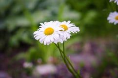 Weiße Gänseblümchen Lizenzfreie Stockfotos