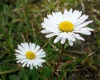 Weiße Gänseblümchen stockfotos
